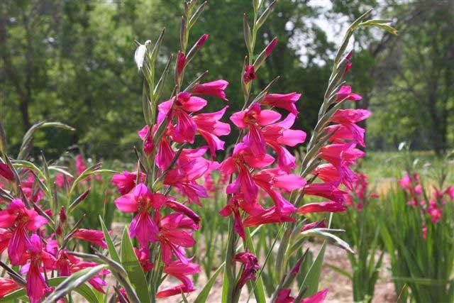 Byzantine-gladiolus-row
