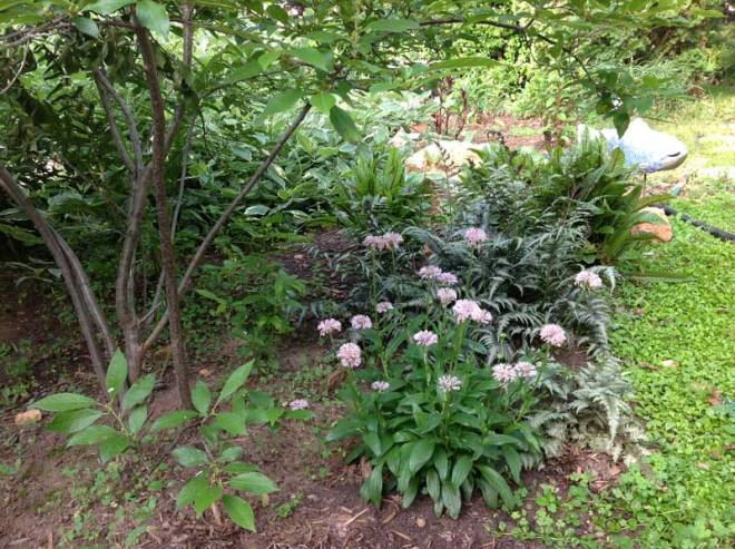 In my yard, Marshallia, geraniums, and painted ferns grow well and look good together.  Why not plant more?  (Winterberry Holly on the left)