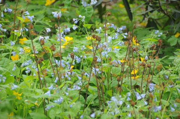 bluebellsferns