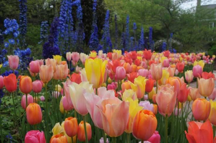 tulipdelphinium2