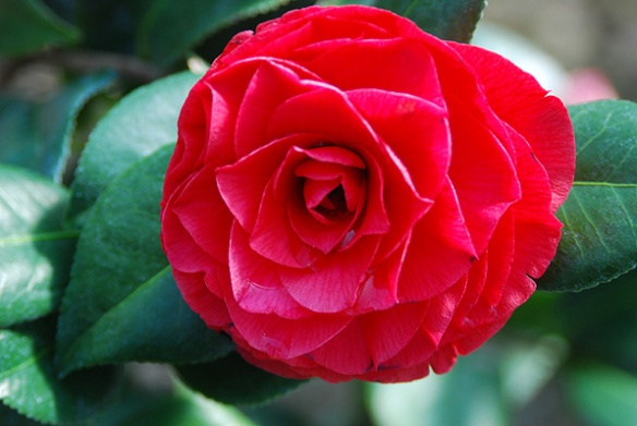 Camellia 'Nuccio's Bella Rossa' from oregonstate.edu