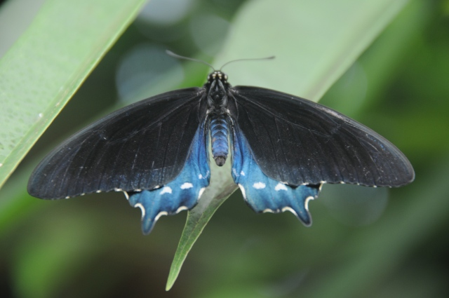 PipevineSwallowtail