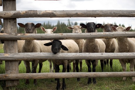 sheep-at-fence-460x306
