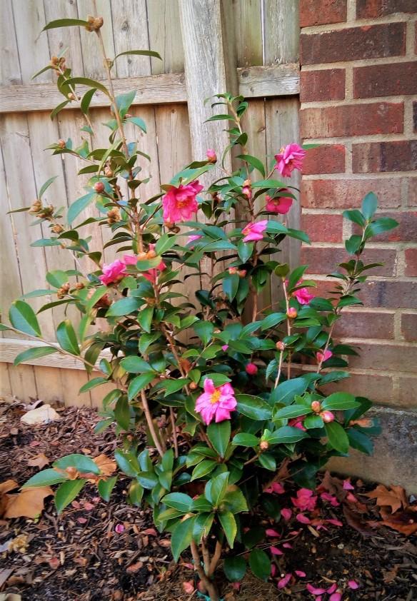 camellia2020 (2)